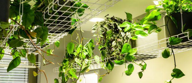 Zalando, Referenz P2 Objekt Grün, Raumdecke Pflanzen, Hängepflanzen, Ranker