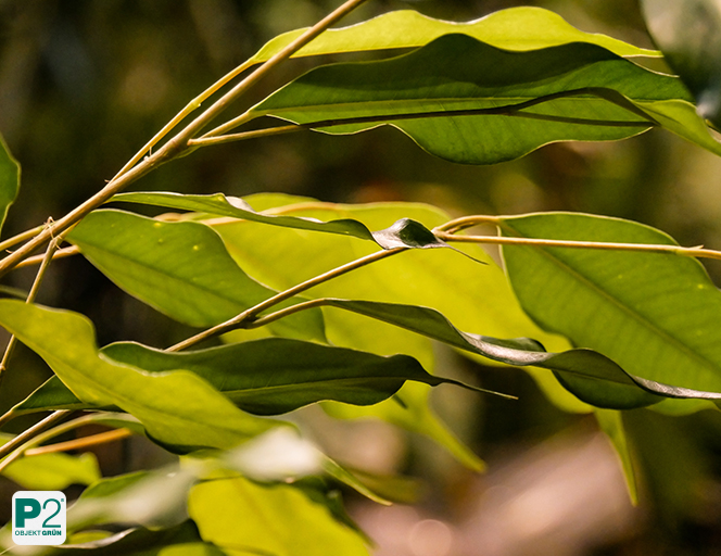 Die besten Büropflanzen: Zimmer-Ficus