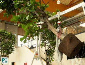 Aufstellen der Bäume mit Hilfe eines Lastenkrans