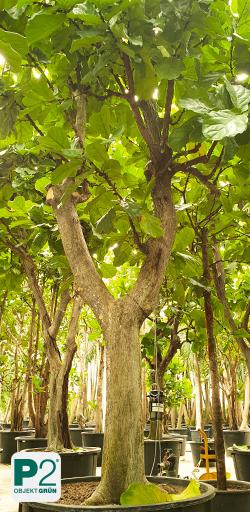 Große Bäume für den Indoorbereich